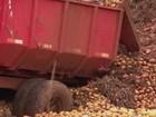 Agrônomo diz que instituições estão 'saturadas de batatas'