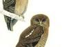 Olhos azuis e canto permitem identificar duas espécies de corujas