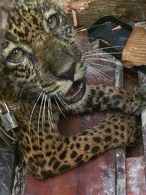 Animal foi encontrado em comunidade localizada no município de Codajás, no interior do AM (Foto: Divulgação/Ipaam)