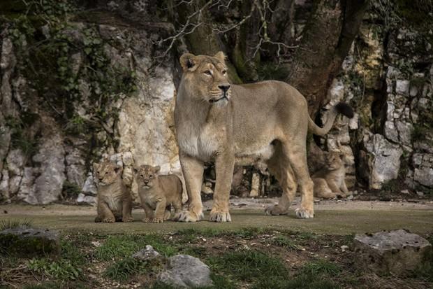 Leoa asiática Shiva cuida de seus três filhotes no zoológico de Besançon, na França (Fot  AP Photo/Laurent Cipriani )