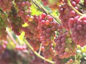 Uvas são provadas por grupo visitante (Foto: Reprodução/TV TEM)