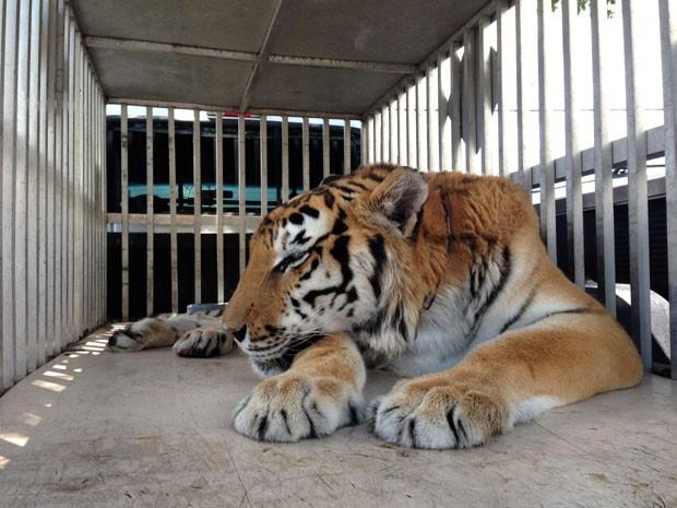 Tigre Ty passou por cirurgia em Clearwater, no estado da Flórida (Foto: James Judge/ BluePearl Veterinary Partners/AP)