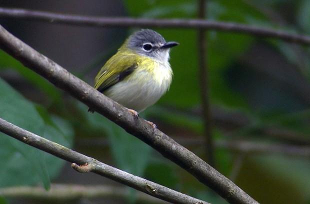 Copas de florestas úmidas e matas secundárias são os ambientes preferidos desta espécie (Foto: Arquivo TG)