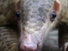 Conheça o mamífero mais traficado do mundo