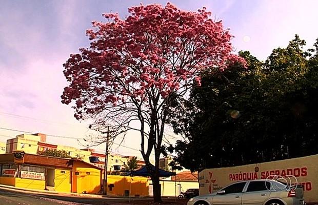 Árvores podem ter flores roxas, amarelas, rosas e brancas (Foto: Reprodução/TV Anhanguera)