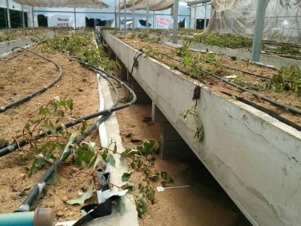 Vândalas destruíram pesquisa com mudas de eucalipto (Foto: Cláudio Nascimento/ TV TEM)