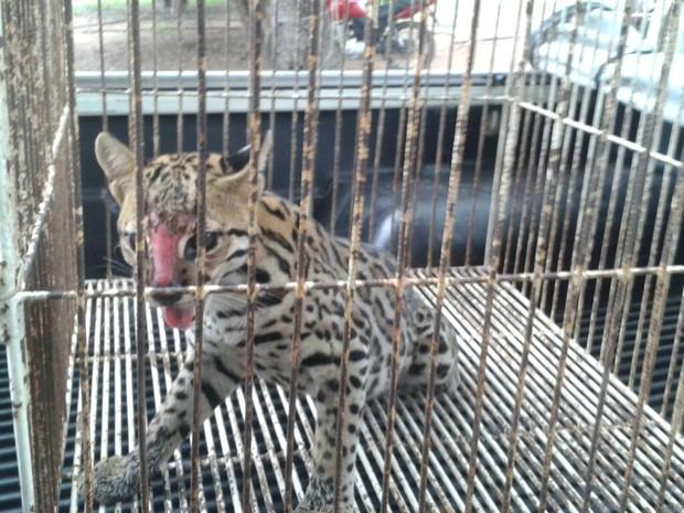 Jaguatirica é resgata e liberada na natureza (Foto: Naturatins/Gurupi)