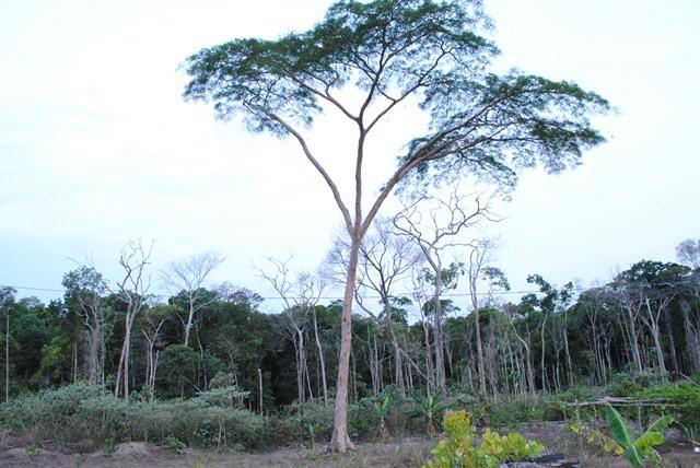 A espécie mais comum em Vilhena é a angelin-saia (Foto: Rogério Perucci/G1)