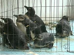 Pinguins estão em centro de reabilitação (Foto: Reprodução/RBS TV)