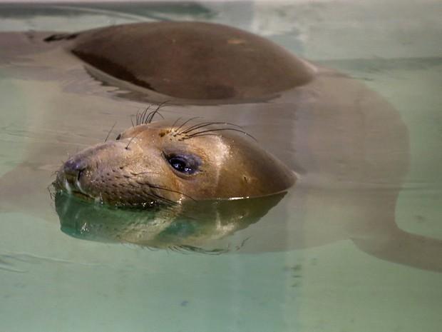 Elefante-marinho Coolio foi resgatado cego e quase morto em praia da Califórnia (Fot AP Photo/Keith Srakocic)