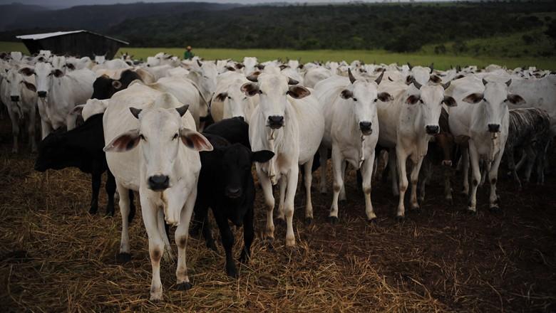 boi-gordo-nelore-pecuaria-corte-carne (Foto: Ernesto de Souza/Ed. Globo)