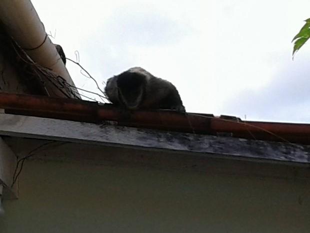Primata chegou a puxar orelha dos cães que estavam no quintal (Foto: Michel Zogno/TEM VC)