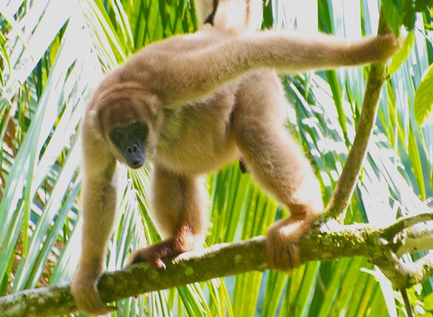 Muriqui-do-sul ('Brachyteles arachnoides'), que vive na Mata Atlântica, é um dos animais citados pela 'Science': primata está desaparecendo dos ecossistemas tropicais (Foto: Pedro Jordano/Science/Divulgação)
