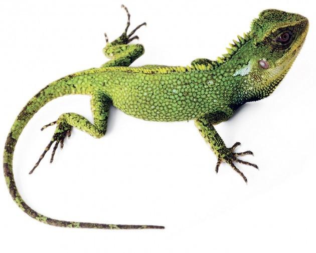 Exemplar da espécie 'Enyalioides altotambo', novo lagarto encontrado por cientistas no Equador (Foto: Divulgação/Instituto Smithsonian)