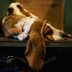 Fazer barulhos repentinos enquanto seu cachorro dorme é uma boa forma de saber se ele tem algum problema de audição (Foto: Bruno Vincent/Getty Images))