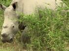 Fertilização in vitro pode ser 'única esperança' do rinoceronte branco