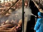 Em Taiwan, produtor treina porcos para usar 'banheiro' e evitar poluição