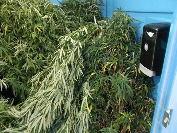 Homem acha banheiro portátil recheado de plantas de maconha em parque (Foto: Rogue River Police Department/Facebook)