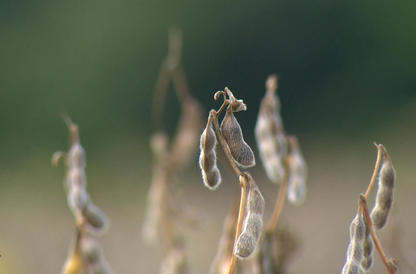 Produção de soja na região é um dos destaques do programa (Foto: Reprodução TV Fronteira)