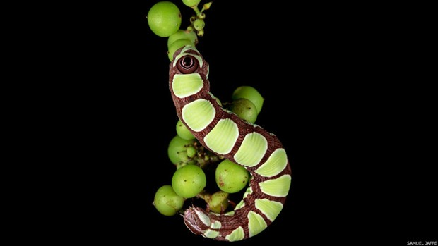 """8)Para fotografar as lagartas é preciso dedicação. """"Observar-me na floresta é como observar alguém andando em um museu, muito muito devagar, olhando cada detalhe, revirando muitas folhas"""", disse Jaffe. Na foto, a Cerura scitiscripta (Foto: Samuel Jaffe/Divulgação)"""