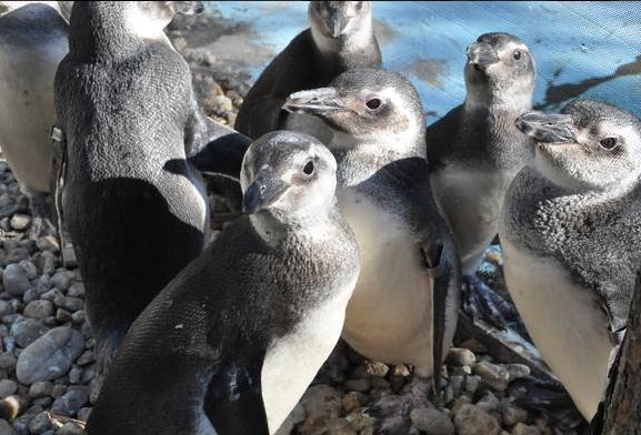 Pinguins passaram por reabilitação em Florianópolis (Foto: Fatma/Divulgação)