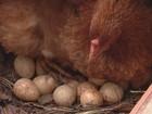 Curiosidade animal: galinha desafia a gravidade e choca nas alturas