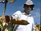 Safrinha de milho deve ser maior do que safra principal, segundo IBGE