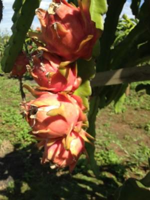 Consumo da pitaya ajuda a previnir diabetes (Foto: Janine Limas/RBS TV)