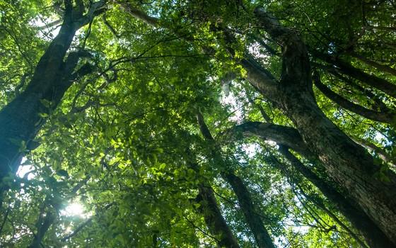 Copa das árvores em uma densa floresta de Mata Atlântica (Foto: divulgação )