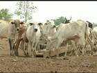 Falta de chuva no norte de Goiás preocupa criadores de gado