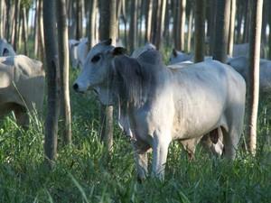Dia de campo sobre integração lavoura-pecuária será realizado em Cáceres (MT) (Foto: Divulgação assessoria/Embrapa)