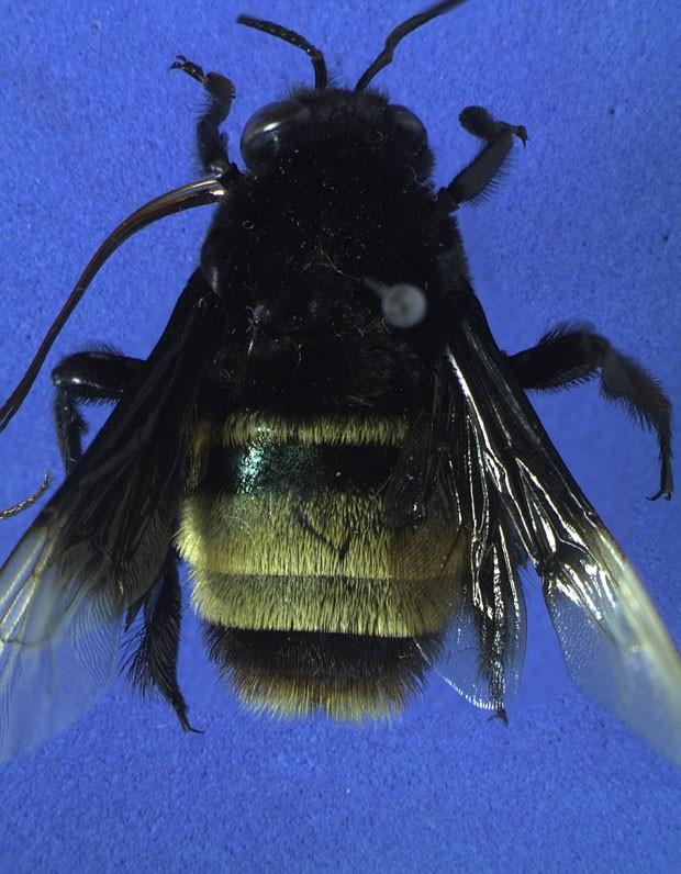 Imagem de exemplar macho da espécie 'Eulaema quadragintanovem', abelha cujo nome é uma homenagem à passagem do jogador Ronaldinho Gaúcho pelo Atlético Mineiro. (Foto: Divulgação/André Nemésio)