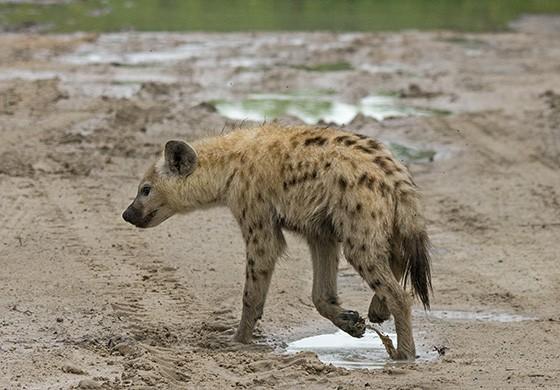 Uma hiena-malhada atravessa a estrada de areia molhada, passando pelas poças d'água  (Foto: © Haroldo Castro/ÉPOCA)