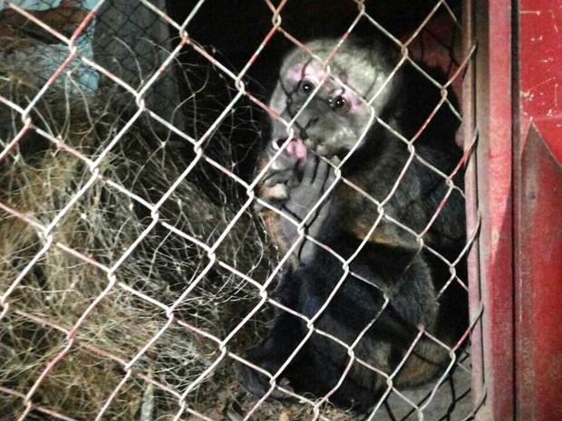 Macaco foi capturado sem ferimentos (Foto: Hellen Dourado/Arquivo Pessoal)