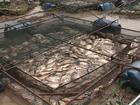 Represa transborda, e mais de 150 toneladas de peixes morrem, no PR