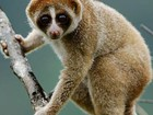 Cientistas encontram nova espécie de primata que tem mordida tóxica