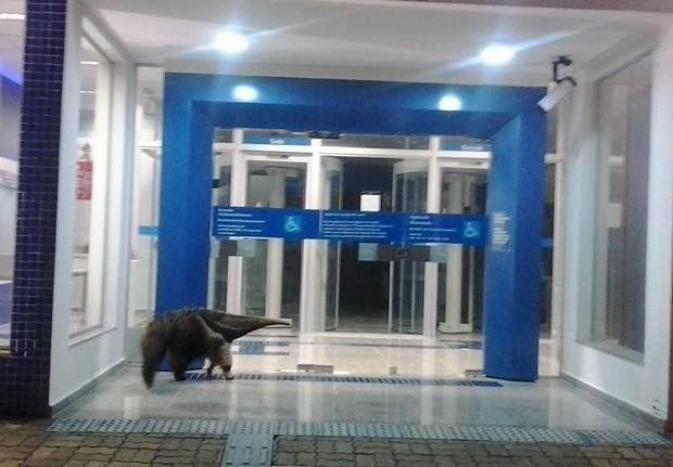 """Tamanduá ficou no local por horas, tentando """"entrar"""" (Foto: Everton Santos)"""