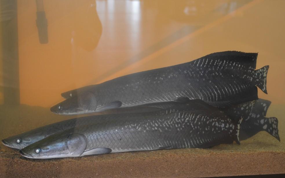 Quilo do peixe pirarucu custa R$ 10,00 em Porto Velho (Foto: Hosana Morais/G1)