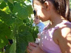 Syrah e Malbec em uma videira no Chile (Foto: Isabella Franco/Arquivo Pessoal)