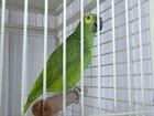 Vídeo mostra papagaio cantando música de Roberto Carlos, no ES