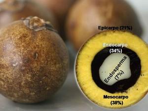 O óleo do fruto da macaúba serve de matéria-prima para o biodiesel (Foto: UFV/Digulgação)