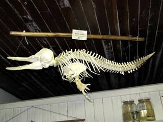 Esqueleto de boto cinza exposto em Cananéia, SP (Foto: Mariane Rossi/G1)