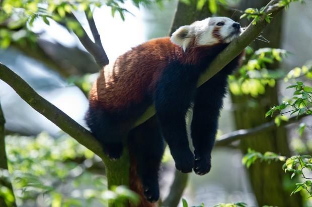 Preguiçoso, panda vermelho aparece 'jogado' em cima de galho no zoológico de Nuremberg, na Alemanha (Foto: Daniel Karmann/AFP)