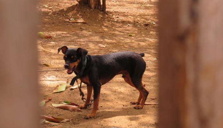 Cão Pablo preso