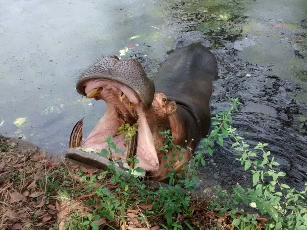 Hipopótamo fica em recinto aberto e tem fácil acesso aos visitantes (Foto: Mis Souza/VC no G1)