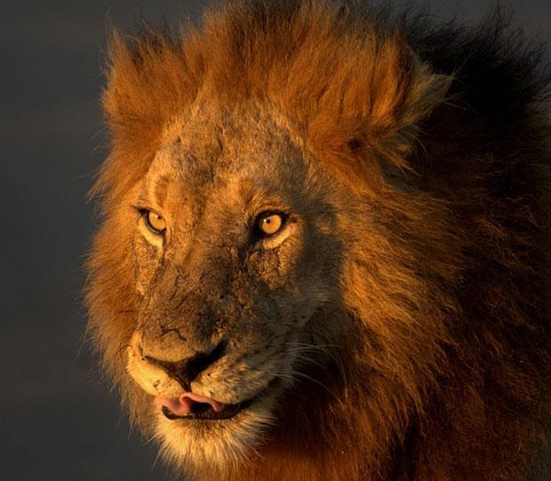 Exemplares de Leões africanos têm sido caçados e mortos para extração de ossos, que são vendidos para o mercado asiático. Tradicionalistas da região acreditam em cura com poções que utilizam esqueleto. (Foto: Reprodução/Chris vd Merwe)