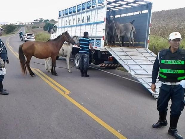 Mais de 300 animais soltos nas rodovias já foram recolhidos em 2015 (Foto: PM / Divulgação)