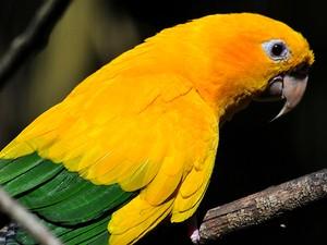 Ararajuba tem as cores do Brasil e corre o risco de desaparecer (Foto: Rudimar Narciso Cipriani)