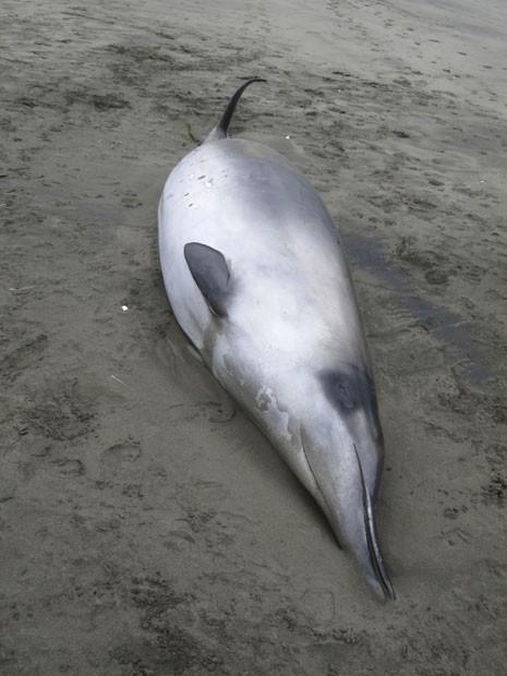 baleia rara; Nova Zelândia (Foto: Governo da Nova Zelândia)