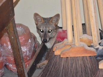 Raposa se escondeu atrás dos móveis (Foto: Walter Paparazzo/G1)